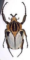 CETONIDAEGoliathus cacicus.jpg
