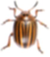 CHRYSOMELIDAE Leptinotarsa decemlineata.