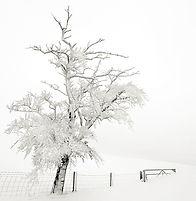 Frozen Tree Teesdale.jpg