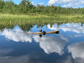 Ducks along the Saranac River