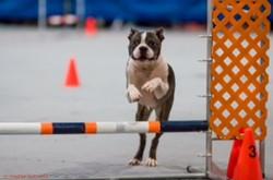 Wilson Boston Terrier