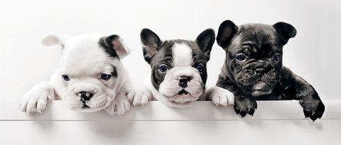 Three%20French%20Bullgod%20Puppies_edited.jpg