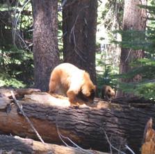 Yosemite Brown Bear and Cub.jpg