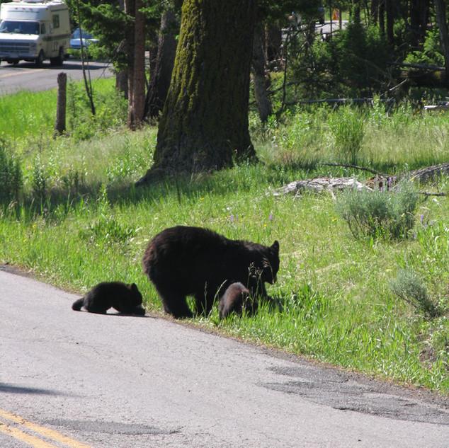 Yellowstone Black Bear with cubs.jpg