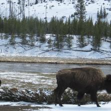 Yellowstone Bisonti 2014_04_23 027.JPG