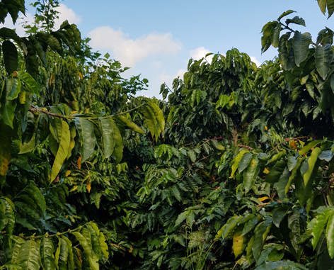 Strong Coffee Trees