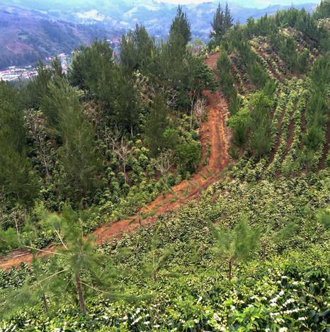 Coffee Flower Field