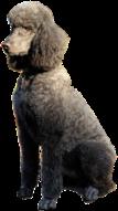 Tori Corn's standard poodle