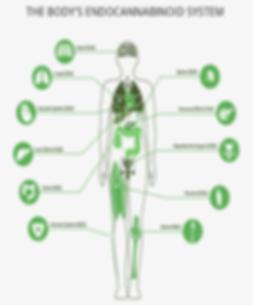 Endocannabinoid-System.png