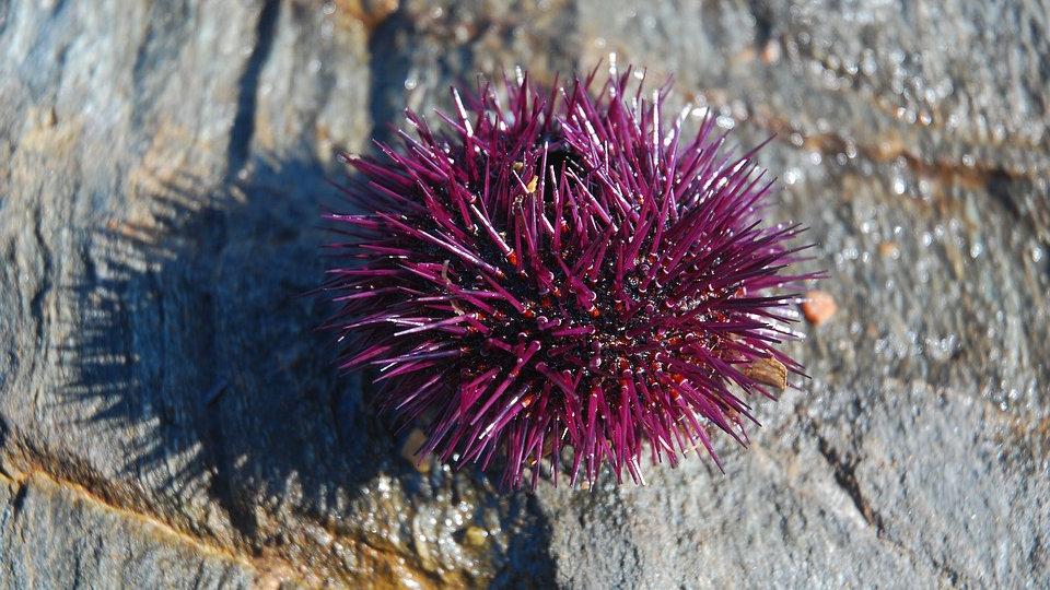 The Sea Urchin 16oz Beet, Carrot, Apple, Beet Greens, Ginger, Orange, Lime