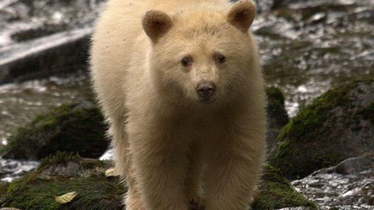 Spirit Bear - See ingredients in Product Description