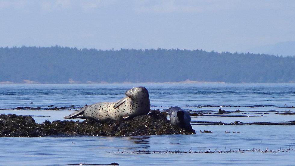 Harbor Seal- See ingredients in Product Info below