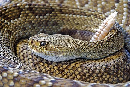 1oz Rattlesnake - Ginger, Lemon, Lime