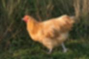 bleekgele-kip-orpington-1575717.jpg