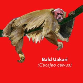 Bald Uakari.jpg