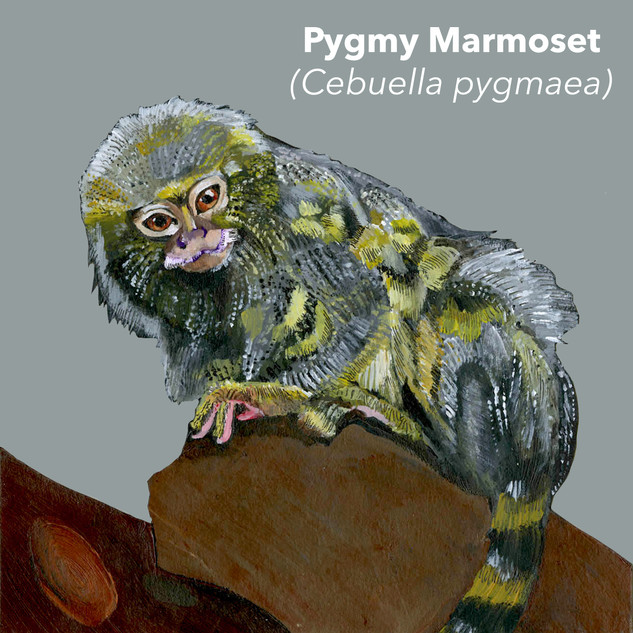 Pygmy Marmoset.jpg