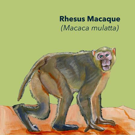 Rhesus Macaque.jpg