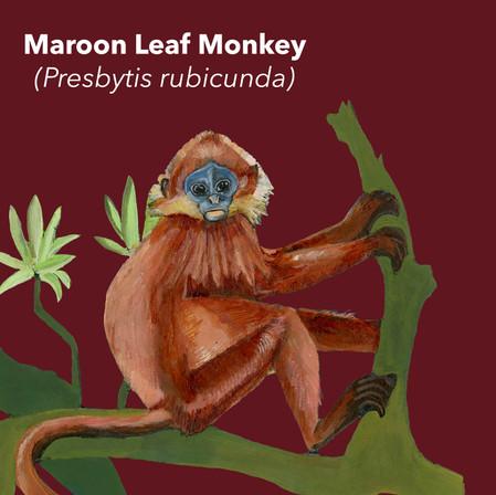 Maroon Leaf Monkey.jpg
