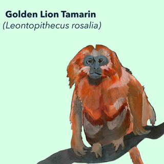 Golden Lion Tamarin.jpg