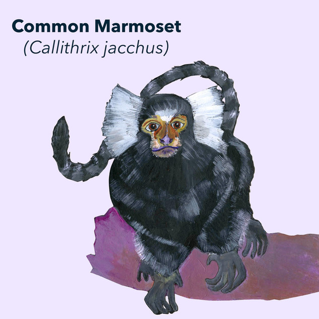 Common Marmoset.jpg