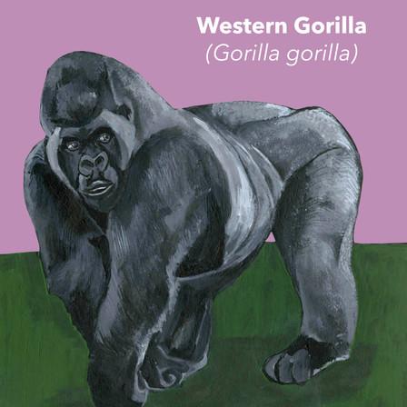 Western Gorilla.jpg