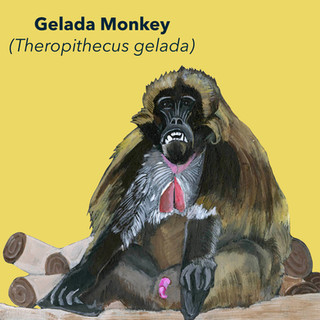 Gelada Monkey.jpg
