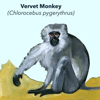 Vervet Monkey.jpg