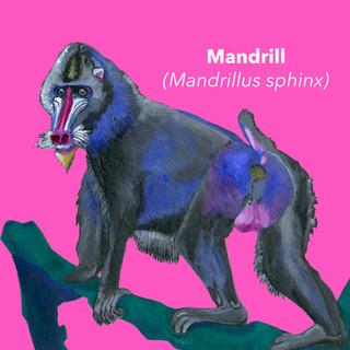 Mandrill.jpg