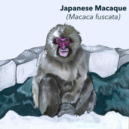 Japanese Macaque.jpg
