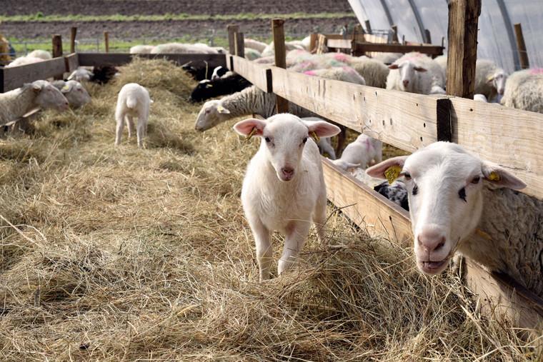 Moutons Monédières _EMAYER