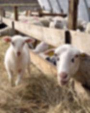 ferme moutons