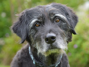 7 Tips to Enhance Your Ageing Dog's Longevity