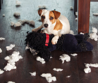jack russel terrier chewing eating stuffed animal