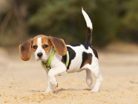 Dog Limping Causes