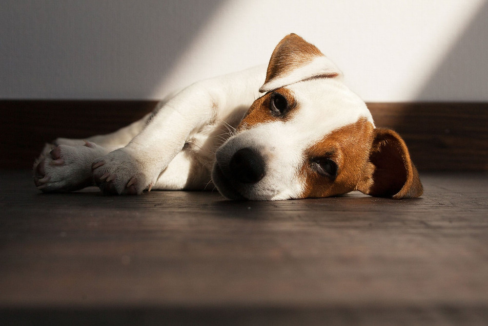 dog puppy sad lying on floor