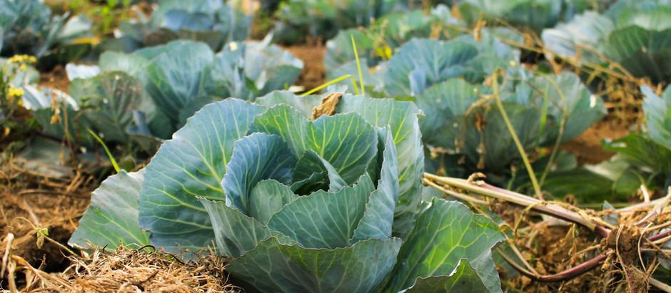 The truth about cabbage.. dun derr derr...