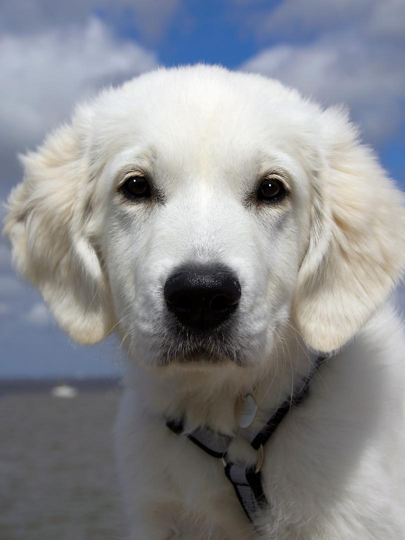 Hundeansikt