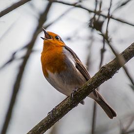 Robin 2.jpg