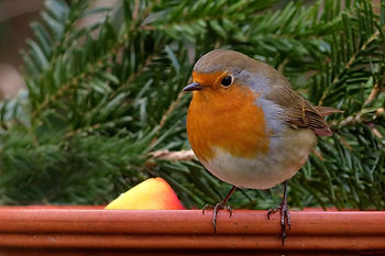 Robin 1.jpg