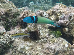 Reef Fish Tobago Cays