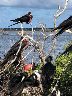 Frigate Bird Colony in the Lagoon 03