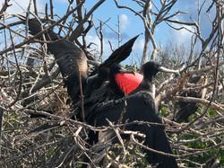 Frigate Bird Colony in the Lagoon 02