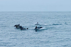 Another Dolphin Pod Arrives
