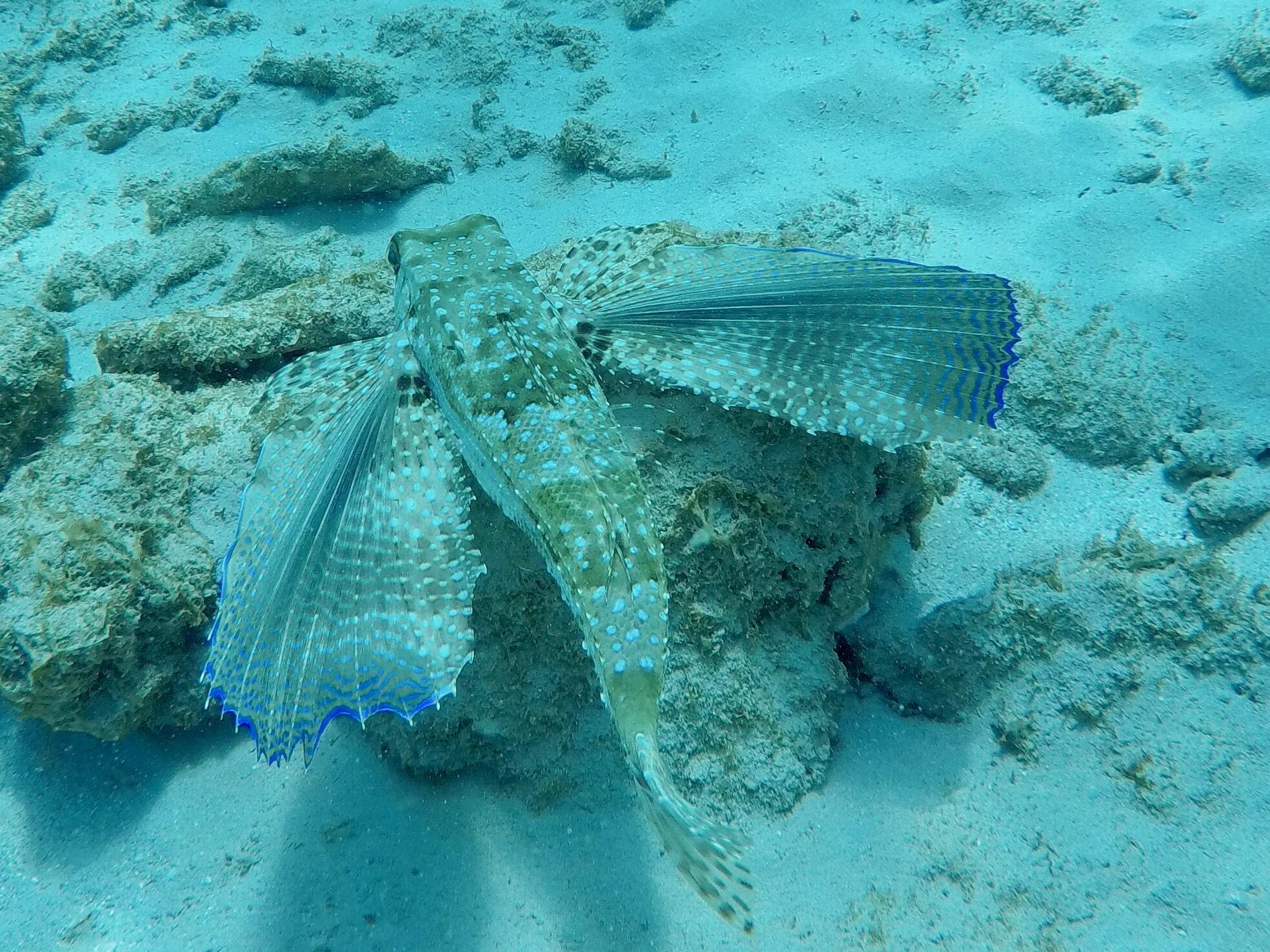 Batfish - Six Mens Bay
