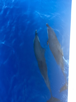Dolphins - Martinique