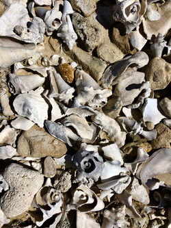 Conch Shell Debris - Coral Group Bay