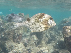 Trunkfish Tobago Cays
