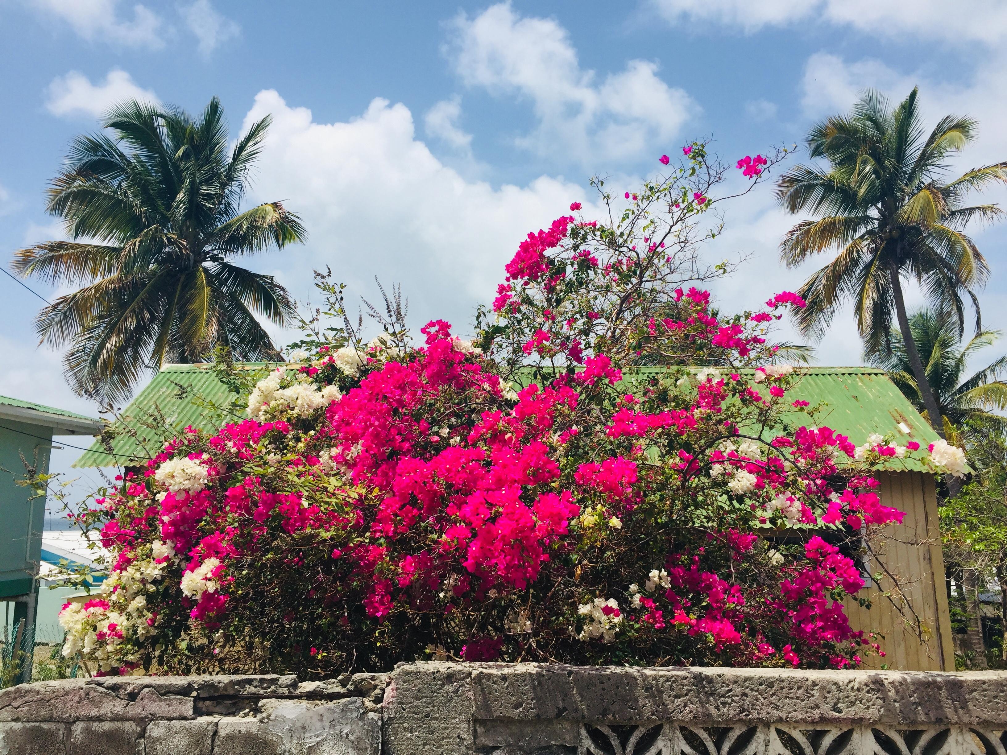 Petit Martinique blooms