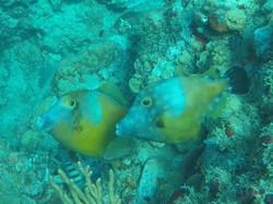 Chatham Bay 01 Trigger Fish