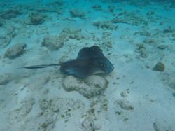 Stingray Horseshoe Reef